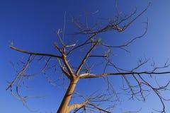 błękit suchy nieba drzewo Obraz Royalty Free