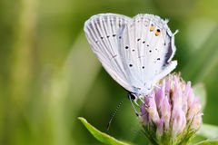 Błękit uskrzydla motyliego zbierackiego nektar makro- widoku Polyommatus Icarus oskrzydlony obsiadanie na cloverf Płytka głębia Obraz Royalty Free