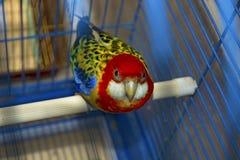 Błękit z żółtą papugą w klatce, patrzeje bezpośrednio przy my Obraz Royalty Free