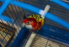 Błękit z żółtą papugą w klatce, patrzeje bezpośrednio przy my Zdjęcia Stock