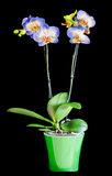 Błękit z purpurowych punktów gałęziastymi storczykowymi kwiatami, Orchidaceae, Phalaenopsis znać jako ćma orchidea Obraz Stock