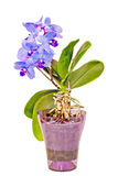 Błękit z purpurowych słupkowie gałęziastymi storczykowymi kwiatami, Orchidaceae, Phalaenopsis znać jako ćma orchidea Obrazy Royalty Free