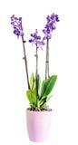 Błękit z purpurowych słupkowie gałęziastymi storczykowymi kwiatami, Orchidaceae, Phalaenopsis znać jako ćma orchidea Fotografia Stock