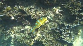 Błękit zakazujący parrotfish scarus ghobban podwodny zbiory wideo