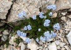 Błękit Zapomina Ja Nie kwiat w Triglav parku narodowym w Juliańskich Alps w Slovenia Obraz Royalty Free