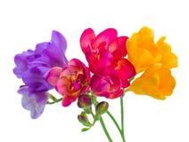 Błękita, czerwieni i koloru żółtego frezi kwiaty, Obraz Royalty Free
