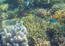 Błękita i koloru żółtego rybia rafa koralowa Tropikalnych seashore zwierząt podwodna fotografia Fotografia Royalty Free