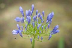 Błękita i zieleni kwiat z insektem Zdjęcia Royalty Free