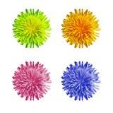 Błękita, menchii, zieleni i pomarańcze dandelion, kwitnie, odgórny widok Obraz Stock