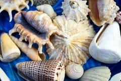 Błękita oceanu półkowe skorupy Fotografia Royalty Free