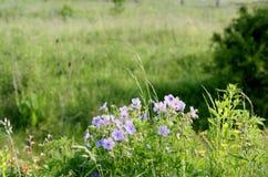 Błękita pola kwiatów krajobrazy Ukraina Zdjęcie Stock