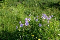 Błękita pola kwiatów krajobrazy Ukraina Obraz Stock