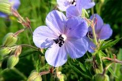Błękita pola kwiatów krajobrazy Ukraina Obrazy Stock