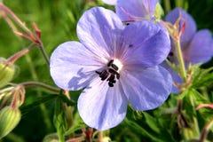 Błękita pola kwiatów krajobrazy Ukraina Zdjęcie Royalty Free