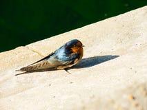 Błękita powitania dymówki ptasiego samotnego ślicznego koloru mały ptak zdjęcie royalty free