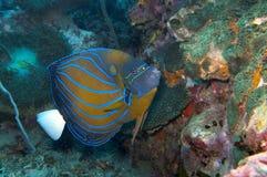 Błękita ringowy angelfish Fotografia Stock