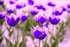 Błękita rocznika Terry różowi tulipany Zdjęcia Stock