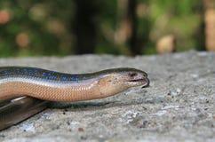 Błękitna łaciasta jaszczurka fotografia stock