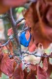 Błękitna śliwkowa owoc na wysuszonej gałąź i lieves Obraz Royalty Free