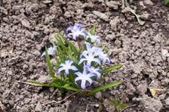 Błękitna śnieżyczki wiosna kwitnie zbliżenie widok na ziemskim tle obrazy stock