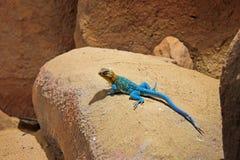 Błękitna żółta jaszczurka na kamieniu Agama Obrazy Stock