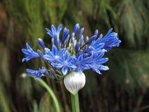 Błękitna Afrykańska leluja Zdjęcie Royalty Free
