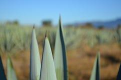 Błękitna agawa Obrazy Stock