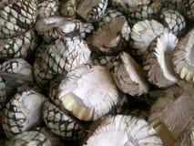 Błękitna agawa przygotowywająca dla Tequilla Fotografia Stock