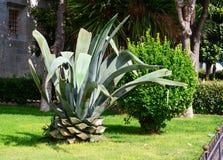 Błękitna agawa z odcinającym dnem opuszcza spojrzenia jak gigantyczny ananas zdjęcia stock