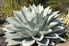 Błękitna agawy roślina Fotografia Stock