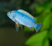 Błękitna aguarium ryba Zdjęcie Stock