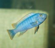 Błękitna aguarium ryba Zdjęcia Royalty Free