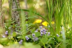Błękitna altówka w trawie zdjęcie royalty free