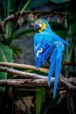 Błękitna ara na gałąź Obrazy Royalty Free