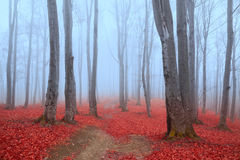 Błękitna atmosfera w mgłowym lesie z czerwonymi liśćmi Fotografia Royalty Free