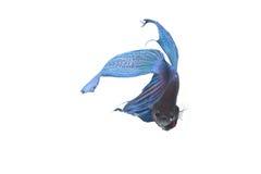 Błękitna bój ryba Obrazy Royalty Free