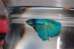 Błękitna betta ryba Obrazy Royalty Free