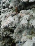Błękitna choinka zakrywająca z lodem Zdjęcia Royalty Free