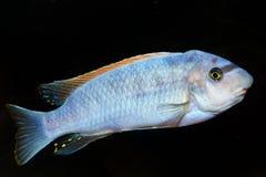 Błękitna cichlid ryba Fotografia Stock