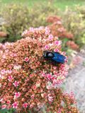 Błękitna cieśla pszczoła & x28; Xylocopa violacea& x29; w różowym kwiacie fotografia stock