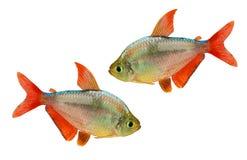 Błękitna Columbian Tetra Hyphessobrycon columbianus akwarium ryba odizolowywająca Zdjęcia Stock
