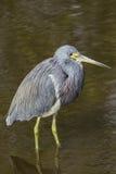 Błękitna czapla w mangrowe obraz royalty free