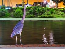 Błękitna czapla w tęczy laguny parku, Long Beach CA zdjęcie stock
