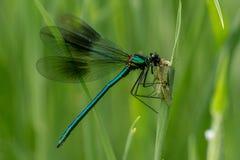 błękitna damsel komarnica Zdjęcie Stock