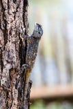 Błękitna głowiasta Agama jaszczurka Fotografia Royalty Free