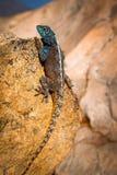 Błękitna głowiasta Agama jaszczurka Obraz Royalty Free
