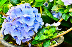 Błękitna hortensja Obraz Royalty Free