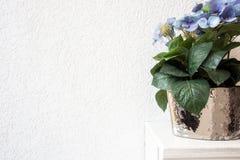 Błękitna hortensja kwitnie w garnku na białym tle na drewnianym odkłada zdjęcia stock