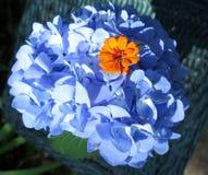 Błękitna hortensja z pomarańczowymi cyniami przy centrum Zdjęcie Royalty Free