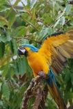 Błękitna i Żółta ara Przedłużyć Jego Uskrzydla Zdjęcie Stock